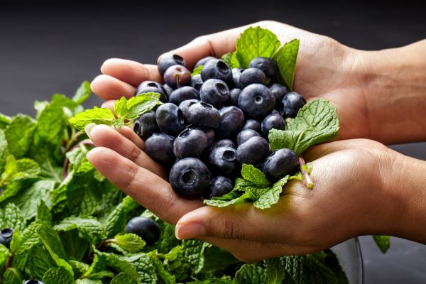 blueberries in hands fresh from garden